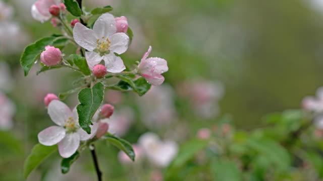 Rainy, spring blossoms
