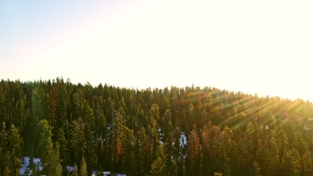 raising over the pines tree - хвойное дерево стоковые видео и кадры b-roll