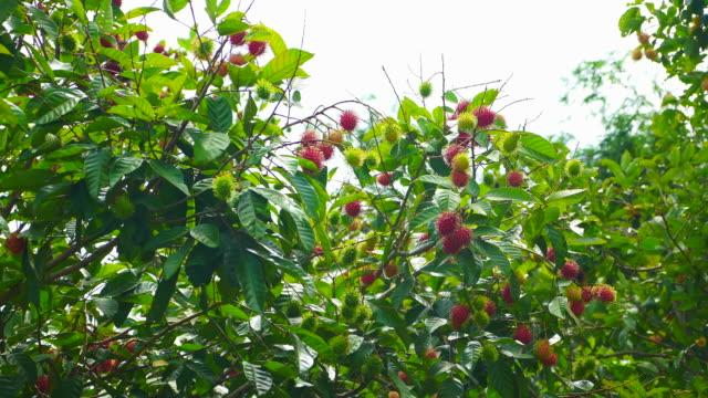 rambutan fruits on tree.the exotic fruits