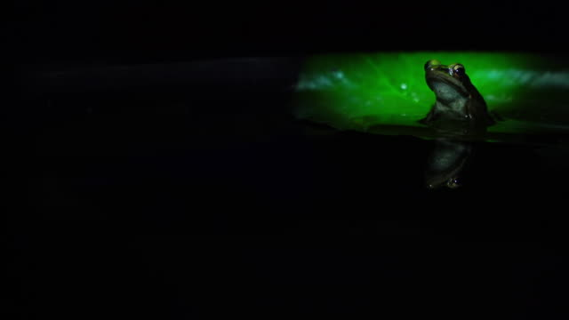 Rana erythraea in pond at night. Rana erythraea in pond, The common green frog (Hylarana erythraea) is a frog species of in the true frog family Ranidae; some sources still use the old name Rana erythraea. It lives in Southeast Asia. frog stock videos & royalty-free footage