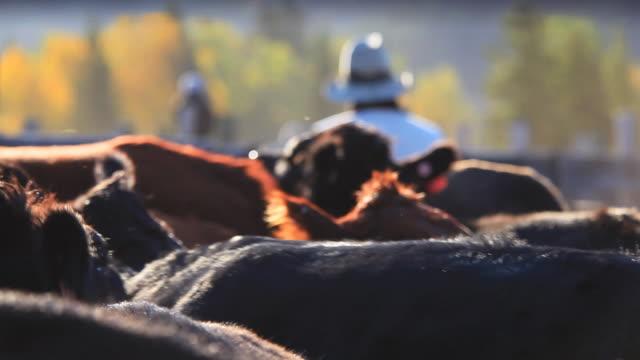 vídeos de stock, filmes e b-roll de rancheiro classificação de gado na segurando canetas - manada