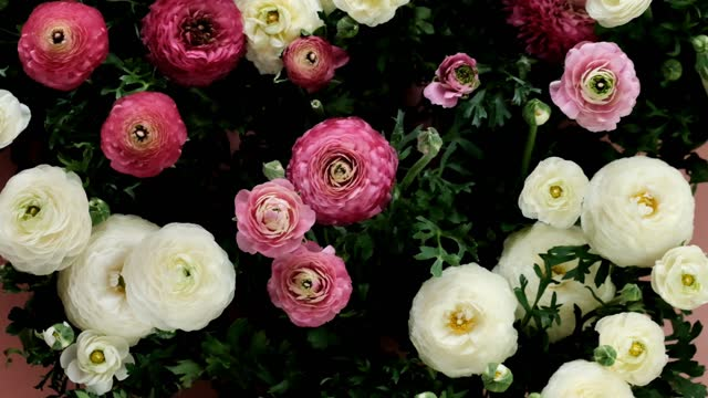 Ranunculus flowers  bouquet. buttercups. Pink and white flowers ranunulus on a light pink background. Wedding day. Valentine's day, birthday