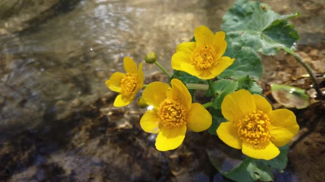Ranunculus flowers in the forest stream. video