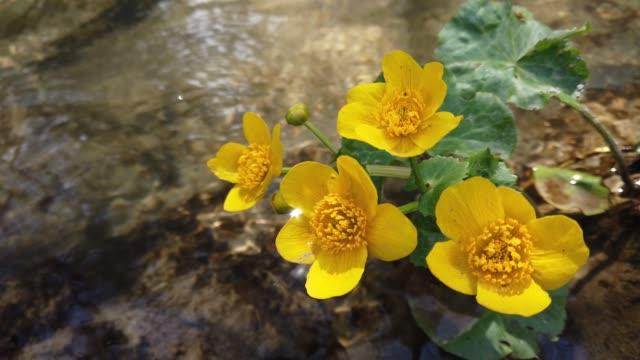 ranunculus blommor i skogsbäcken. - vild blomma bildbanksvideor och videomaterial från bakom kulisserna