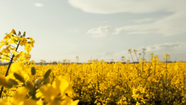 rape field - colza video stock e b–roll