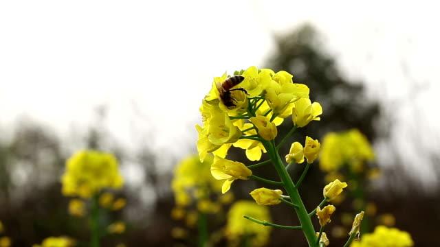 vídeos y material grabado en eventos de stock de flor de violación, florece en primavera con las abejas - pak choy
