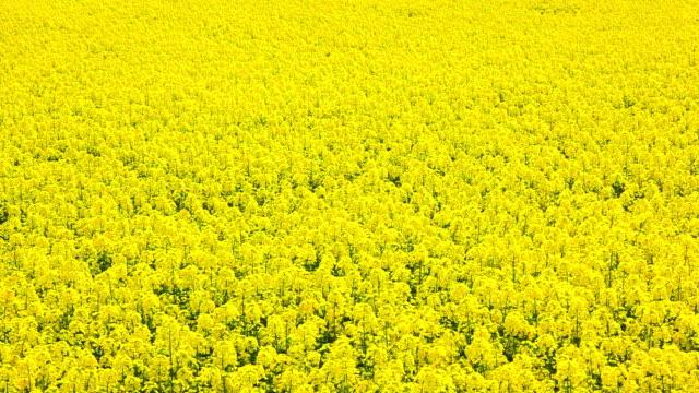 Rape seed field video