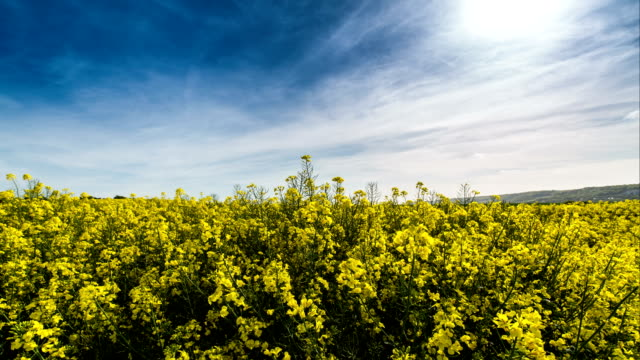 rapeseed and mustard plantation fields - colza video stock e b–roll