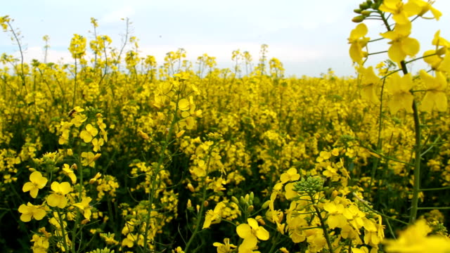 Rapeseed crop - oilseed rape flowers at spring HD 1080 steadicam: oilseed rape flowers at spring; saturated color stock videos & royalty-free footage