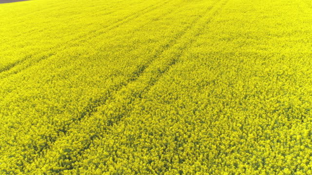 rapeseed field in spring flyover - colza video stock e b–roll