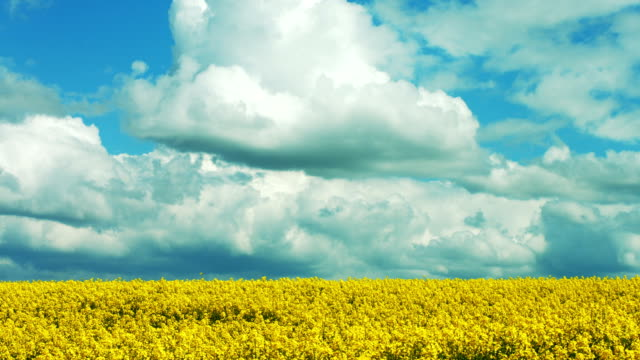 Rapeseed Feld im Frühjahr Echtzeit Aufnahmen (4 k UHD zu/HD) – Video