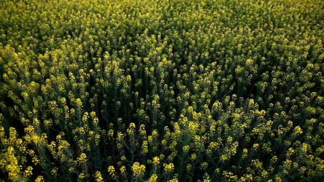 rapeseed field - sale stok videoları ve detay görüntü çekimi