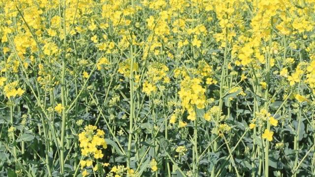 vídeos de stock e filmes b-roll de rapeseed fields - crucíferas