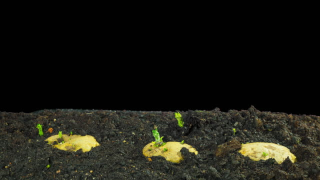 Rapidly growing potatoes, time-lapse black background Rapidly growing potatoes, time-lapse black background prepared potato stock videos & royalty-free footage