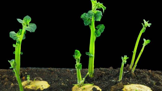 быстро растущий картофель, промежуток времени с альфа - приготовленный картофель стоковые видео и кадры b-roll