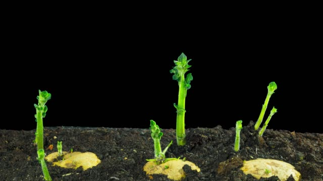 rapidly growing potatoes, time-lapse with alpha - patate video stock e b–roll