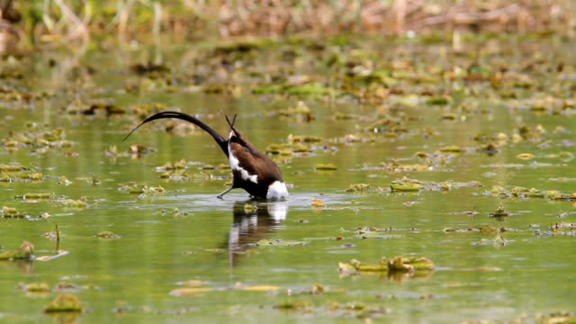 Raptor Pheasant tail jacana is hunting in habitat.HD 1920x1080 animal limb stock videos & royalty-free footage