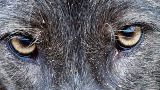 vídeos de stock e filmes b-roll de raros preto coiote olhos - coiote