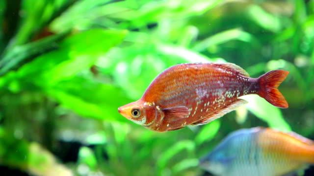Rare fish swimming in aquarium video