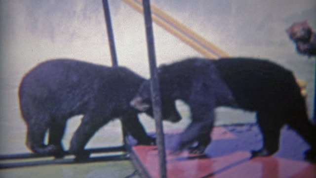 1963: Rare look at black and grizzly bears playing in same zoo habitat pool. video