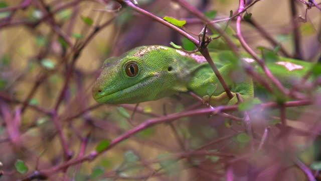seltene northland green gecko-new zealand - endemisch stock-videos und b-roll-filmmaterial