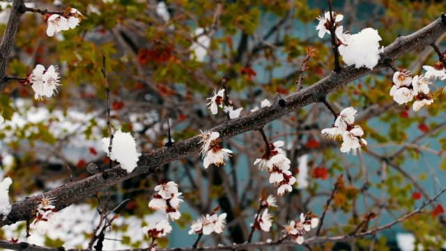 stockvideo's en b-roll-footage met zeldzaam verschijnsel. sneeuw in het voorjaar. takken van de blossoming appelboom waar de sneeuw ligt. sneeuw op de bloemen. klimaatverandering - camelia white