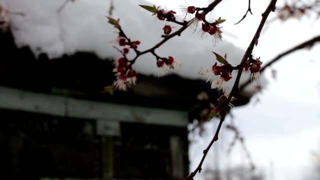 희귀 한 현상입니다. 봄에서 눈. blossoming 사과 나무는 눈 속의 지점. 꽃에 눈. 기후 변화 - chuck lorre 스톡 비디오 및 b-롤 화면
