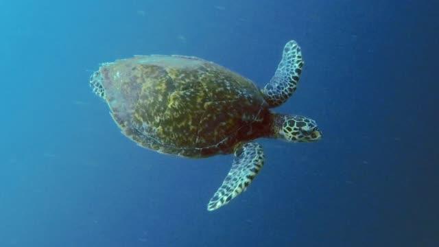 seltene unterwasser begegnung mit kritisch vom aussterben bedrohten karettschildkröte (eretmochelys imbricata) - bedrohte tierart stock-videos und b-roll-filmmaterial