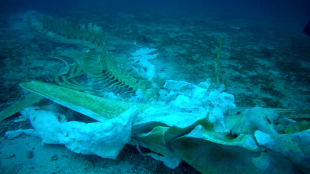 rare whale skeleton and scuba diver underwater - plastic stock videos and b-roll footage