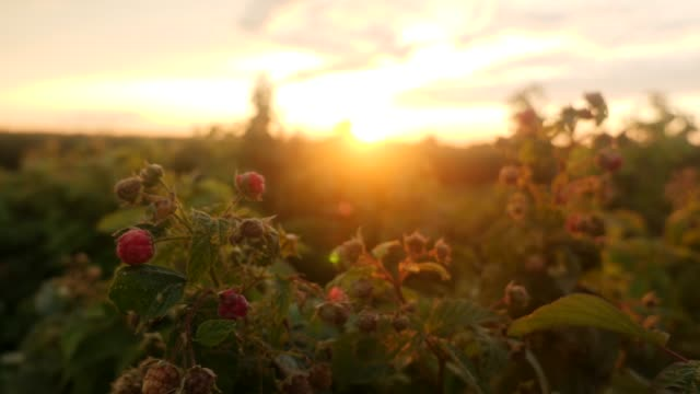 Raspberries at sunset video