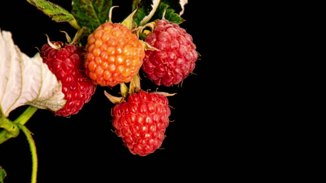 raspberries ripen on black background, close-up. 4K. Concept of fresh fruit, vitamins and natural berries