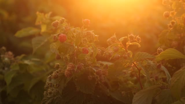Raspberry canes at sunset video