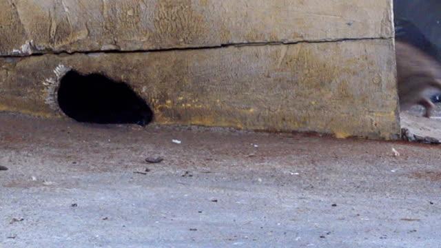 sıçan deliklerinden gidiyor. - kemirgen stok videoları ve detay görüntü çekimi