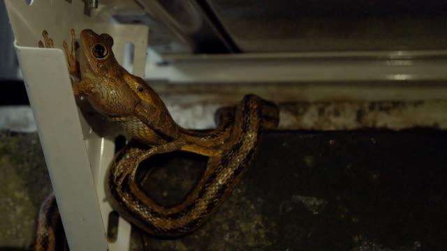 Rat Snake Eating Leopard Frog on Home Exterior