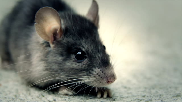 Rat that has been poisoned still breathing video