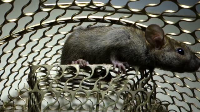 ratte trap - nutztier oder haustier stock-videos und b-roll-filmmaterial
