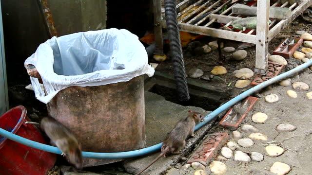 rats video