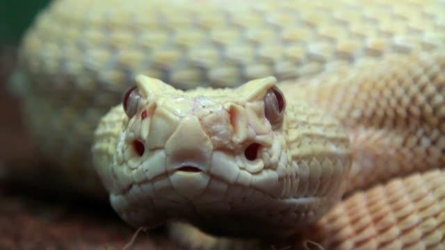 vídeos y material grabado en eventos de stock de serpiente de cascabel close up con sonido - serpiente