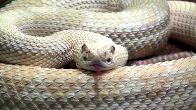 Rattlesnake Close Up with sound Rattlesnake Close Up with sound reptile stock videos & royalty-free footage