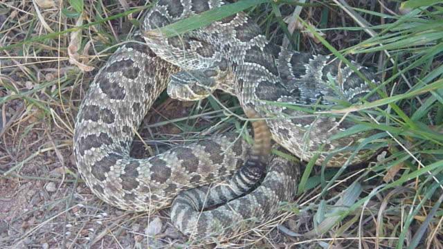 Rattlesnake ready to strike on Colorado hiking trail