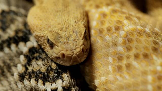 Rattlesnakes: Western Diamondback