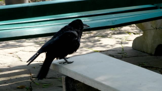 raven flaps its wings and spreads its feathers on a park bench. - ornitologia video stock e b–roll
