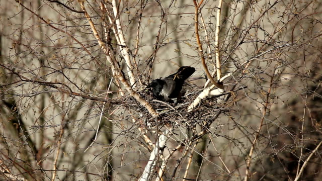 Raven to build a nest of twigs