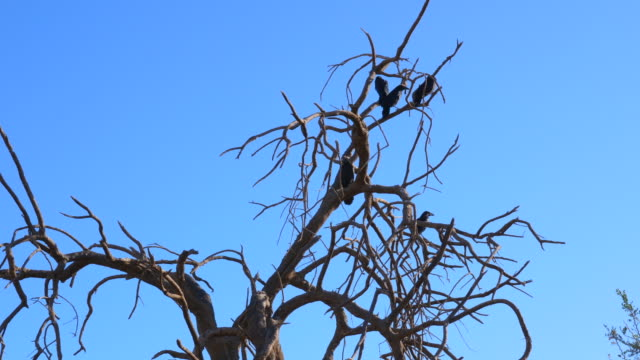 stockvideo's en b-roll-footage met raven in een dode arizona woestijn tree_tight - vogel herfst