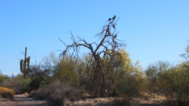 ravens in a dead arizona desert tree_wide - appollaiarsi video stock e b–roll
