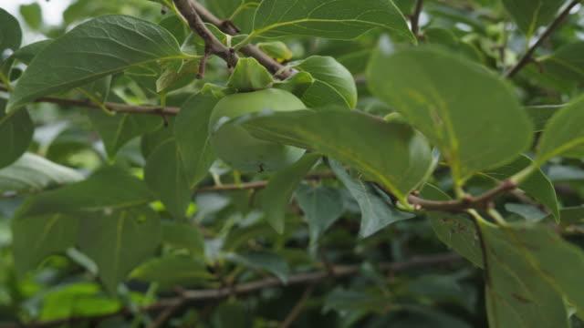 rohe grüne hachiya unter baumblättern gesehen - nierenkelch stock-videos und b-roll-filmmaterial