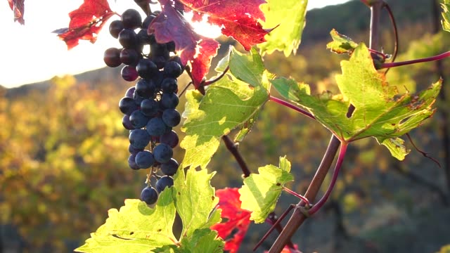 A ray of sunshine through a bunch of ripe grapes