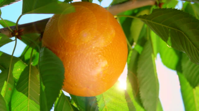 ray of sunshine through the branches of oranges video