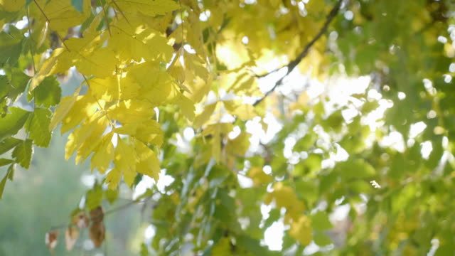 Rays of sunlight shining over a tree branch with yellow leaves shaken by an animal on an autumn day video