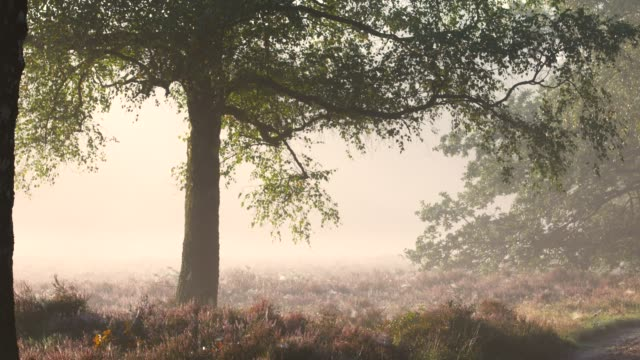 Rays of sunlight through oak tree leaves in blossoming heather plants in early autumn morning light